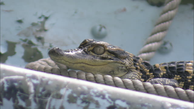 an american alligator rests against a rope on a ship. - american alligator stock videos & royalty-free footage