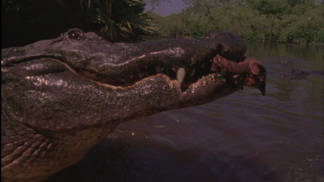an american alligator snatches meat from a competitor. - アリゲーター点の映像素材/bロール