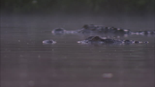 an american alligator swims past another alligator. - american alligator stock videos & royalty-free footage