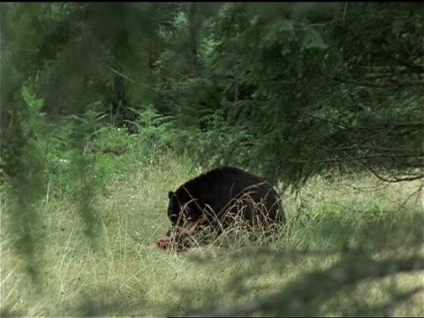 vídeos de stock, filmes e b-roll de an american black bear feeds on a deer carcass in olympic national park. - olympic national park