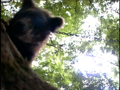 an american black bear is led through with a chain. - cream cake stock videos & royalty-free footage
