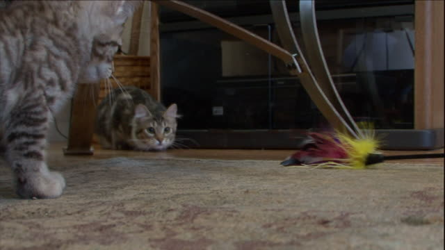 an american bobtail cat chases a cat toy around a coffee table. - coffee table stock videos & royalty-free footage
