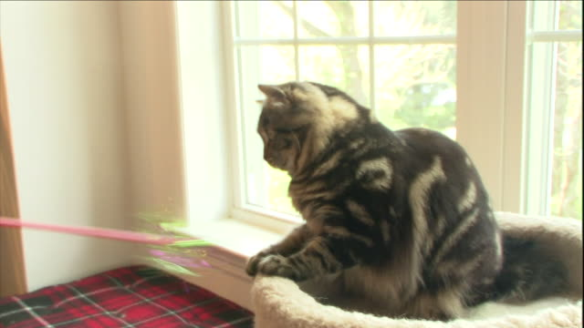 an american bobtail cat plays with a cat toy while sitting on a pet bed. - pet bed stock videos and b-roll footage