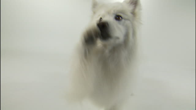 an american eskimo begs and receives a snack. - american eskimo dog stock videos & royalty-free footage