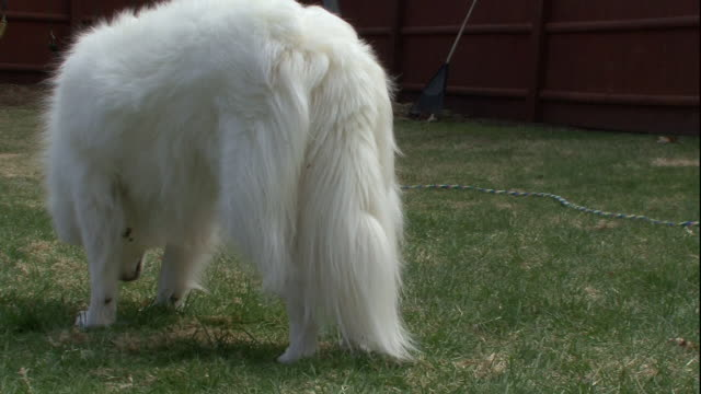 an american eskimo companion dog watches a child play in a back yard. - american eskimo dog stock videos & royalty-free footage