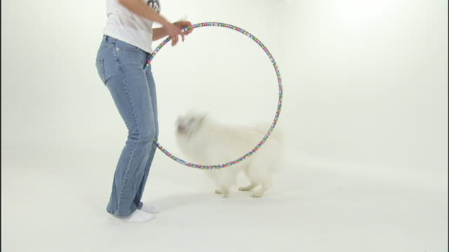 an american eskimo dog jumps through a hoop held by its owner. - american eskimo dog stock videos & royalty-free footage