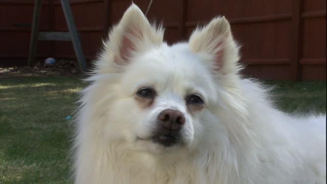 an american eskimo dog licks its lips and turns its head. - american eskimo dog stock videos & royalty-free footage