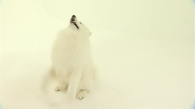 an american eskimo dog sits and begs, then stands on its hind legs. - american eskimo dog stock videos & royalty-free footage