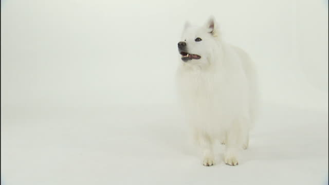 an american eskimo dog sits in a white room. - american eskimo dog stock videos & royalty-free footage