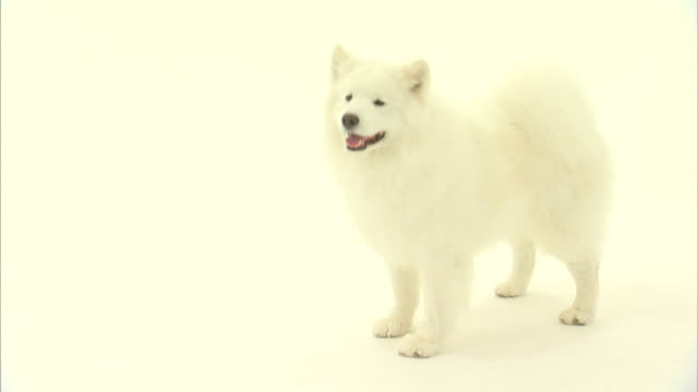 an american eskimo dog stands in a white room. - american eskimo dog stock videos & royalty-free footage