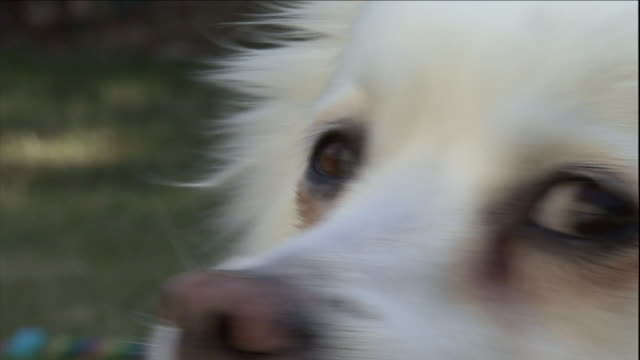 an american eskimo dog turns its head as it pants and sniffs. - american eskimo dog stock videos & royalty-free footage