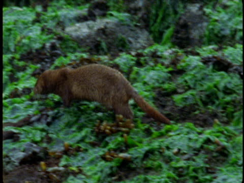 An american mink skitters across seaweed-covered rocks then dives in the water.