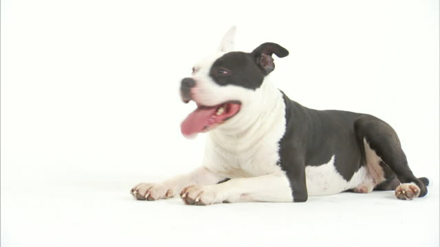 vídeos y material grabado en eventos de stock de an american pit bull terrier lies on a white floor and pants. - pit bull terrier americano
