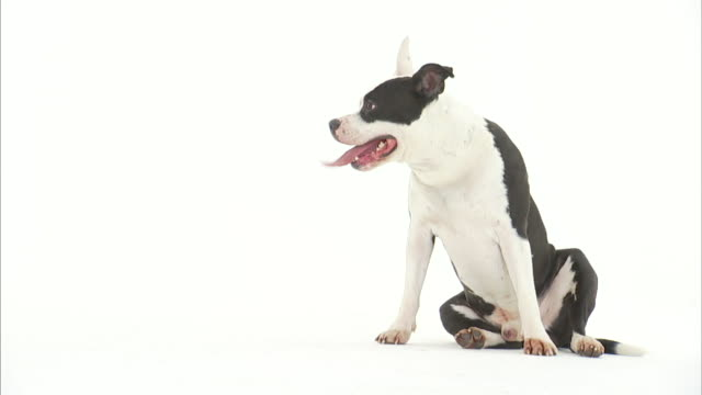 vídeos y material grabado en eventos de stock de an american pit bull terrier sits on a white floor with its tongue hanging out. - pit bull terrier americano