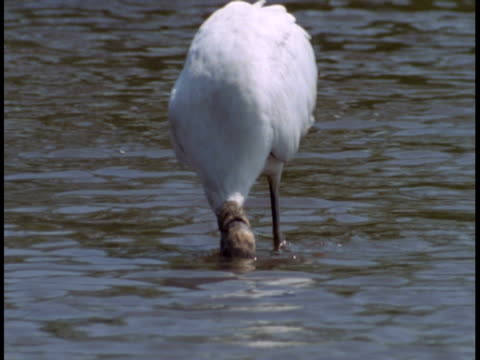 an american wood stork dunks its head as it feeds from the bottom of the everglades. - animal neck stock videos & royalty-free footage