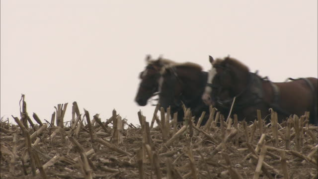 an amish farmer guides horses through a field. - amish video stock e b–roll