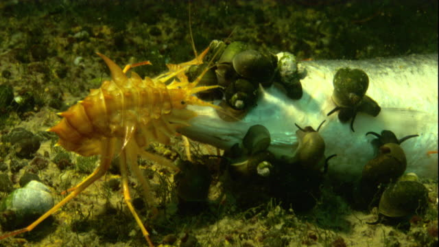 An amphipod and snails feed on a dead fish carcass in frozen Lake Baikal. Available in HD.