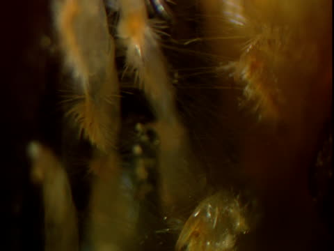 an amphipod uses its legs to weave a nest amongst kelp fronds - anacortes stock videos & royalty-free footage