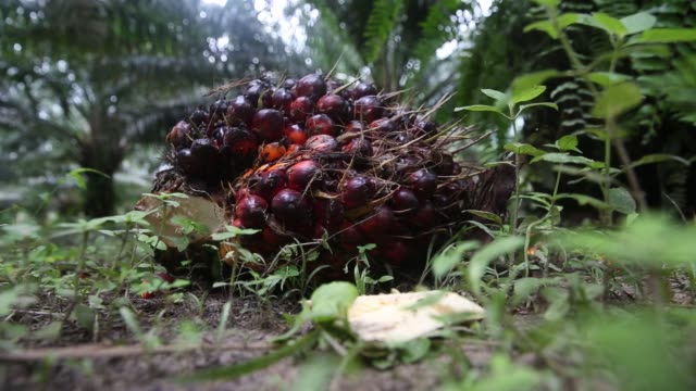 An an oil palm fruit bunch sits on an oil palm tree at the Mong Reththy Investment Cambodia Oil Palm Co oil palm plantation a joint venture between...