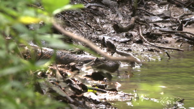 an anaconda slides into a river. - river stock videos & royalty-free footage