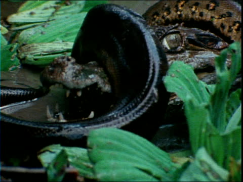 an anaconda squeezes a caiman's head and snout as it struggles to get free. - カイマン点の映像素材/bロール