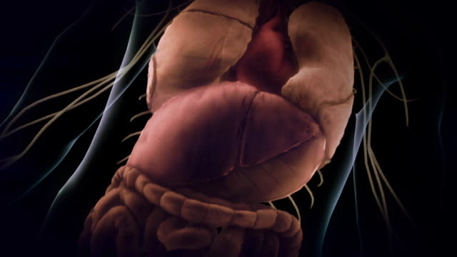 an anatomical model highlights human organs. - human digestive system stock videos & royalty-free footage