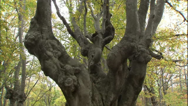 an ancient, gnarled japanese beech tree grows on mt. chokai, japan. - 鳥海山点の映像素材/bロール