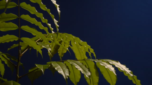 an andira inermis tree grows strong and sturdy as its leaves expand and contract. available in hd. - chroma key stock videos & royalty-free footage