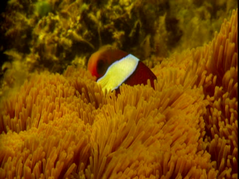 an anemonefish lingers between the tentacles of a sea anemone. - sea anemone stock videos and b-roll footage
