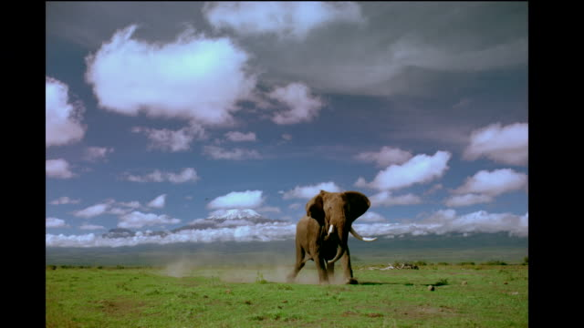 an angry african elephant charges towards the camera. - mt kilimanjaro stock videos & royalty-free footage