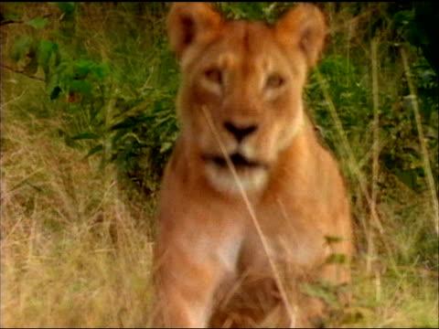 vidéos et rushes de an angry female lion runs through the grass and charges. - lion