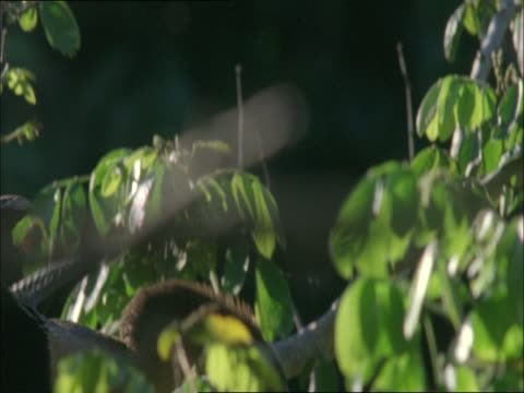 stockvideo's en b-roll-footage met an anhinga clambers in a tree to get to its nest. - plant attribute
