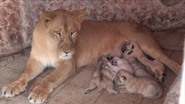 an animal enthusiast in pakistan is celebrating a roaring success after his pet lioness rani gave birth to five healthy cubs - multan stock videos and b-roll footage