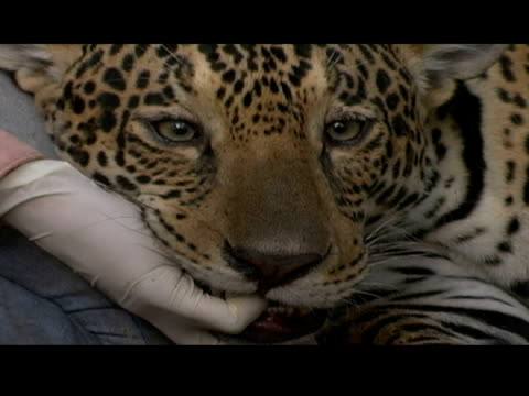 an animal handler places gauze pads over the eyes of a tranquilized jaguar. - tranquillising stock videos & royalty-free footage