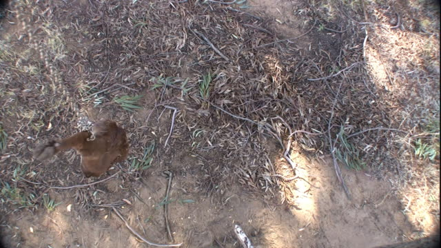 an animal leg hangs as bait from a tree. - animal leg stock videos & royalty-free footage