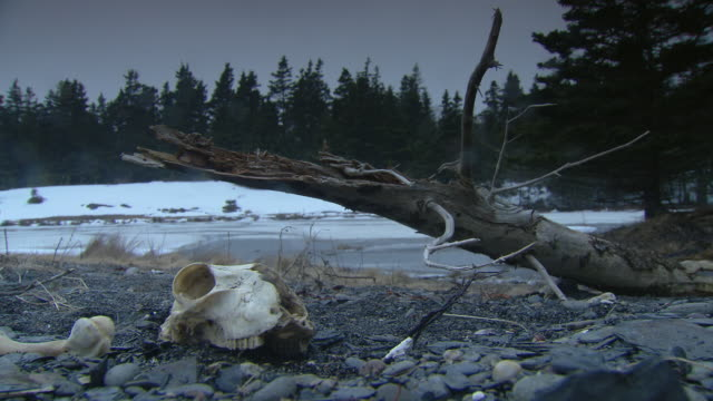an animal skull and driftwood litter a rocky, wooded shore. - 流木点の映像素材/bロール