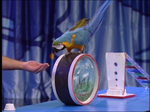 an animal trainer coaxes a parrot that walks atop a wheel. - parrot stock videos & royalty-free footage