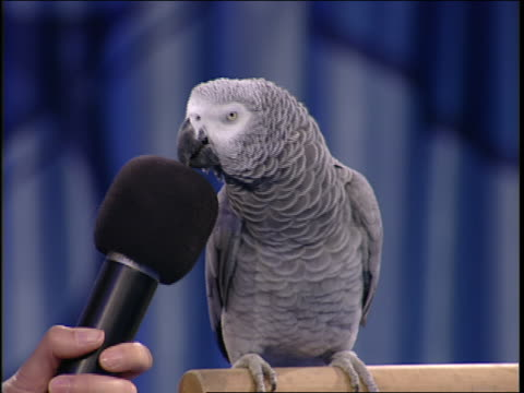 an animal trainer talks to a parrot that vocalizes into a microphone. - parrot stock videos & royalty-free footage