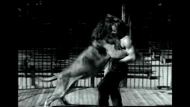 vídeos de stock, filmes e b-roll de an animal trainer wrestles with leo the mgm lion at jungleland usa in thousand oaks california - machos