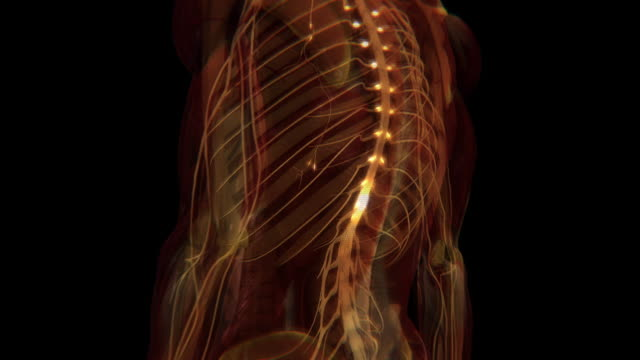 vídeos de stock e filmes b-roll de an animation depicts the electrical impulses and messages of the human central nervous system. - sistema nervoso humano