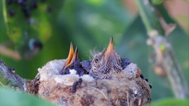 an anna's hummingbird stretches its wings while in the nest on march 13, 2021 in huntington beach, california. - bo bildbanksvideor och videomaterial från bakom kulisserna