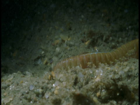 an annelid worm burrows in the sand. - worm stock videos and b-roll footage