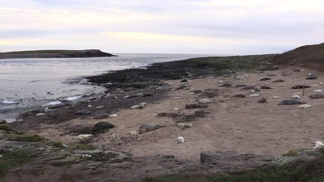 an annual seal census at one of britain's most important colonies has had to be conducted from the air due to the pandemic. social distancing and... - national trust video stock e b–roll