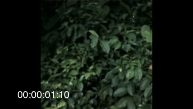 stockvideo's en b-roll-footage met an ant glides across leaves at barro colorado island in panama. available in hd. - ongewerveld dier