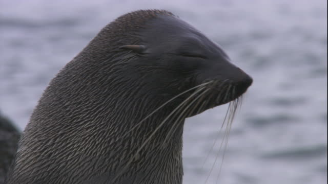 An Antarctic fur seal nuzzles its pup. Available in HD.