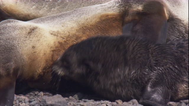 An Antarctic fur seal pup suckles from its mother. Available in HD.