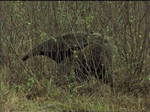 an anteater crawls through a dry grassland. - アリクイ点の映像素材/bロール