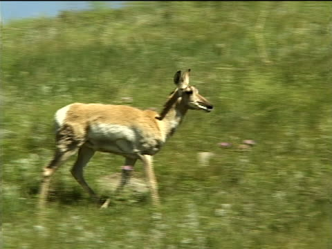 an antelope on a grassy hillside - herbivorous stock videos & royalty-free footage