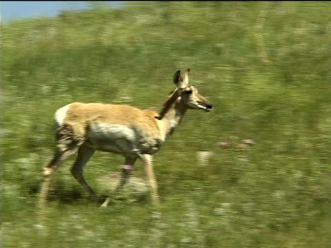 an antelope on a grassy hillside - プロングホーン点の映像素材/bロール