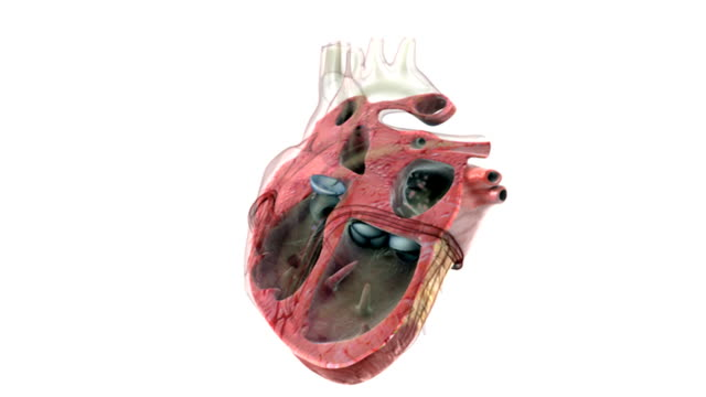 an anterior view of a sectioned heart which beats once. the interior chambers are visible and the blood flow is depicted by red and blue dots. - ventricolo cardiaco video stock e b–roll
